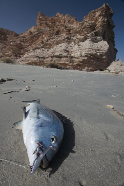 Horse Beach Caught Bream - Southern Oman